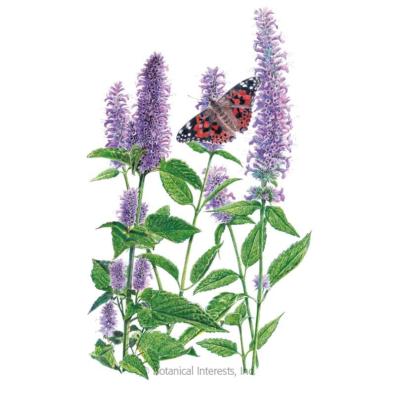 Lavender Hyssop  Seeds