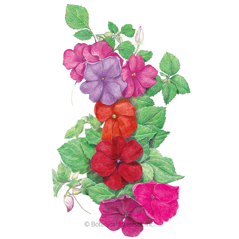 Midnight Blend Impatiens Seeds
