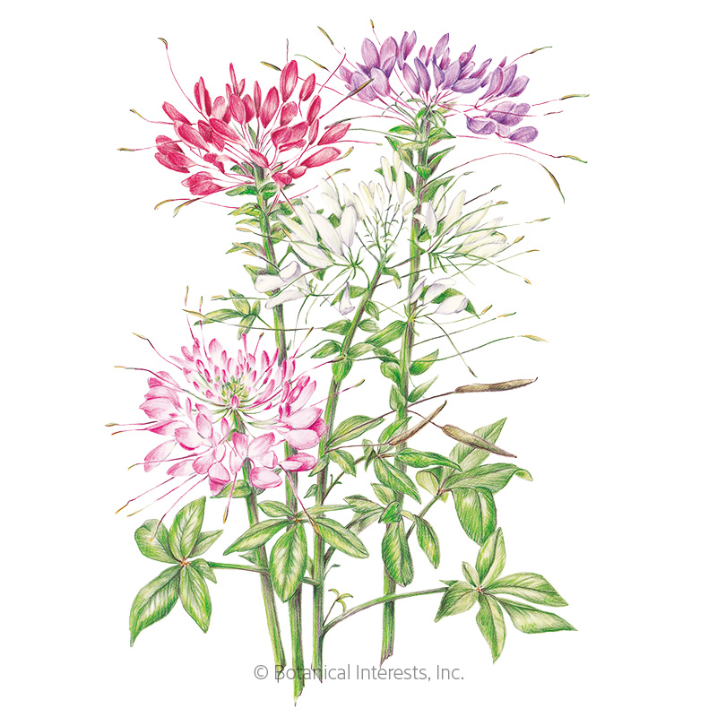 Fountain Blend Cleome (Spider Flower) Seeds