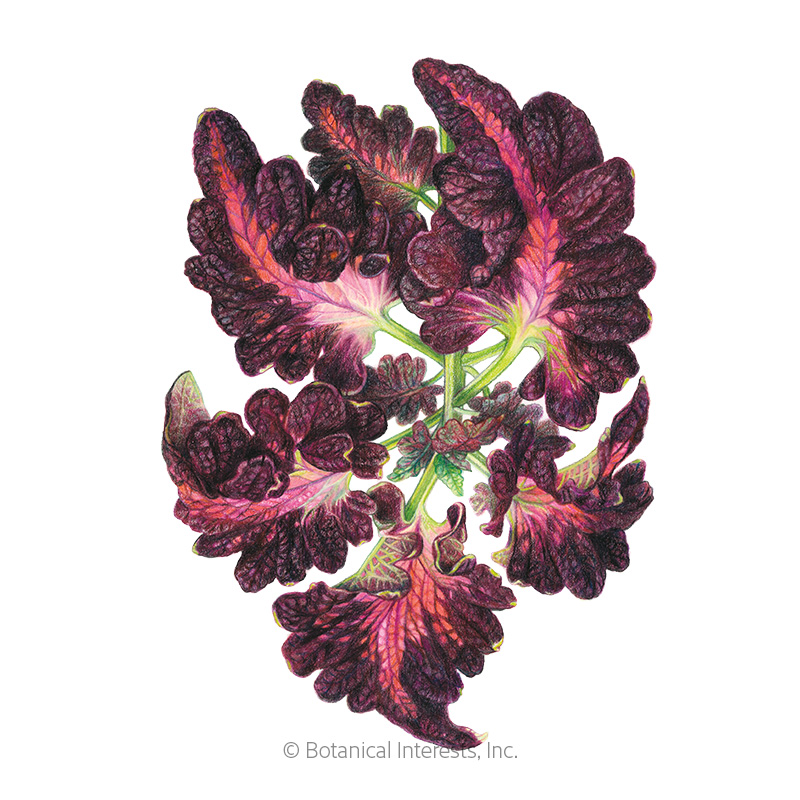 Black Dragon Coleus Seeds