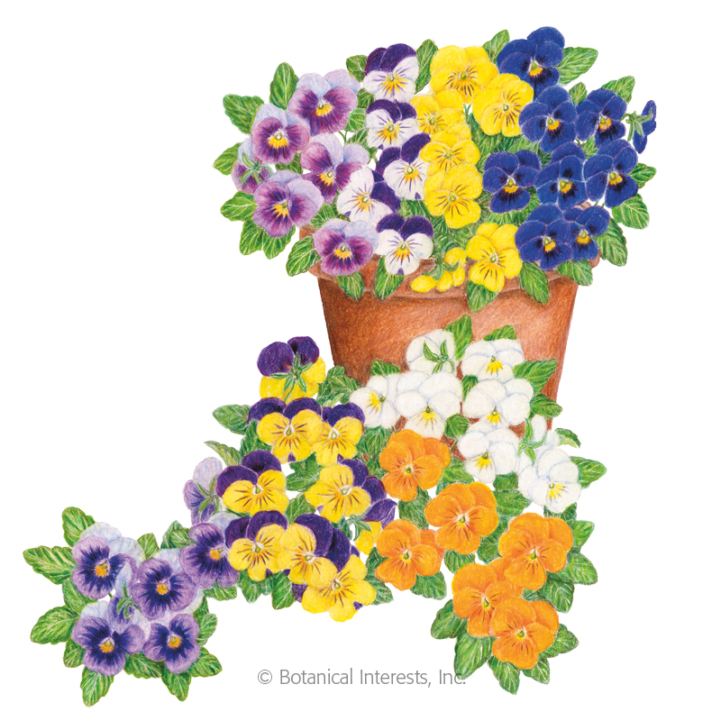 Sorbet XP Select Blend Viola Seeds