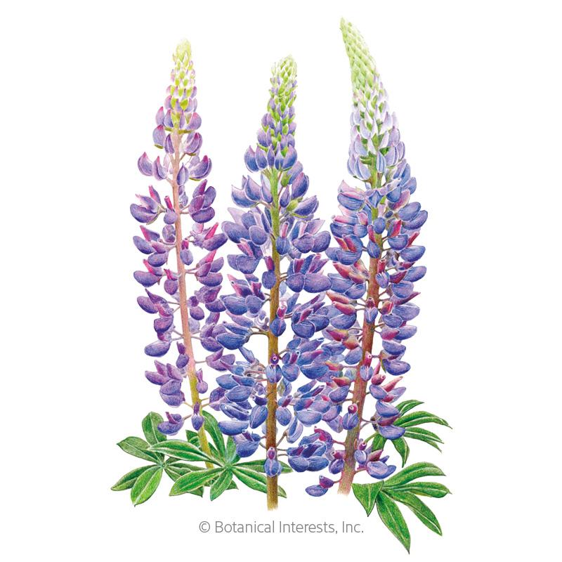 Sundial Lupine Bluebonnet Seeds