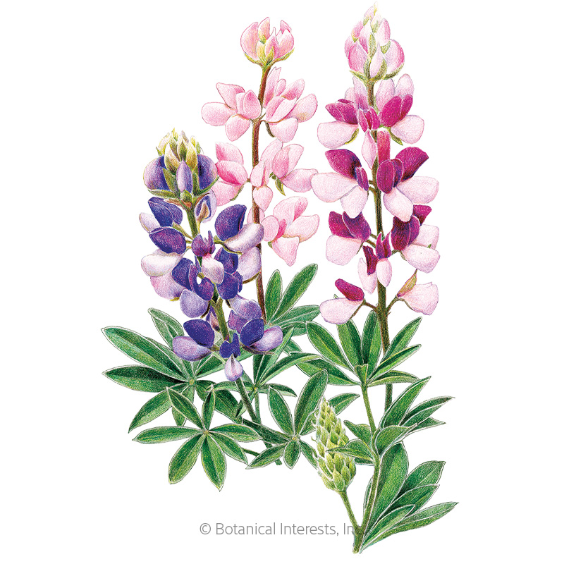 Pixie Delight Lupine Seeds