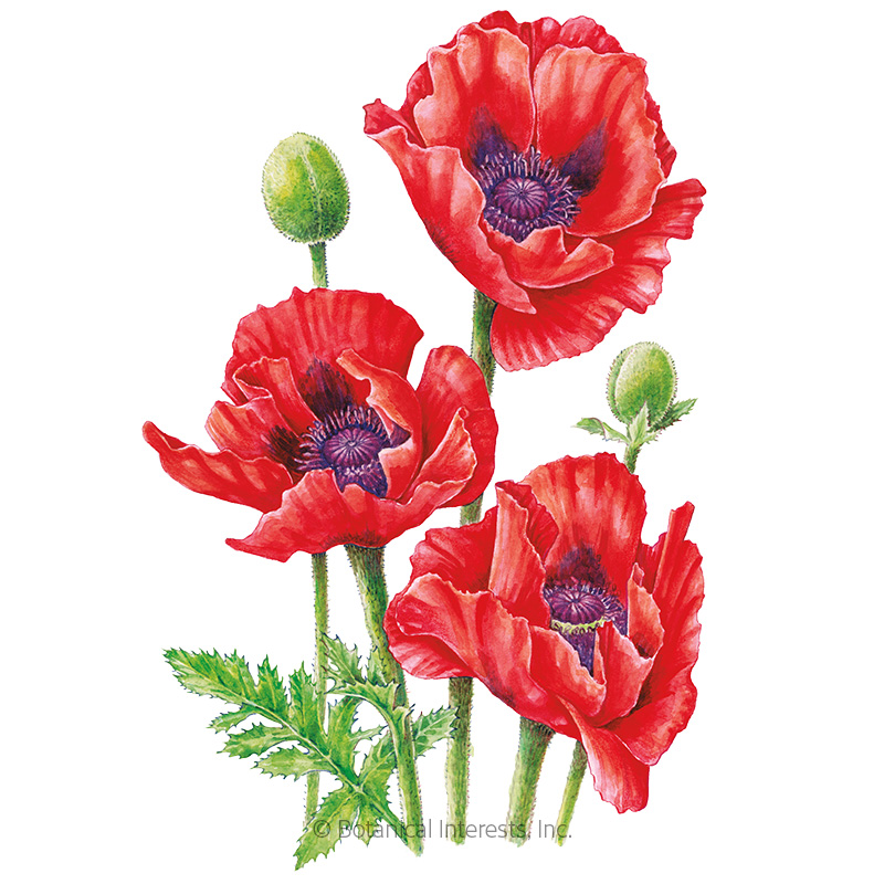 Oriental Brilliant Poppy Seeds View All Flowers Botanical Interests
