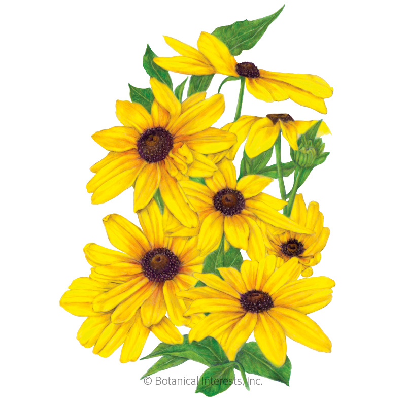 Indian Summer Black-Eyed Susan Seeds