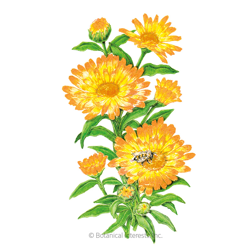 oopsy daisy calendula  pot marigold  seeds   view all