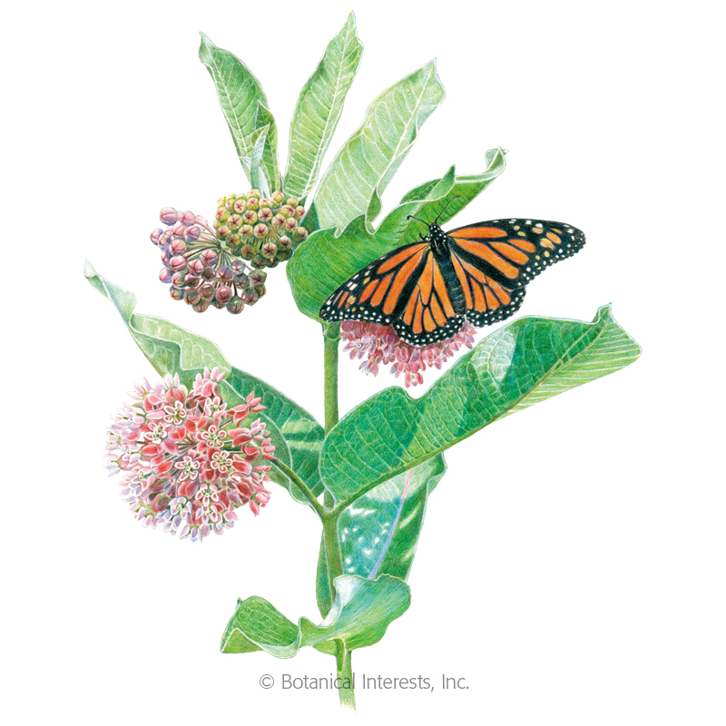 Common Milkweed/Butterfly Flower Seeds