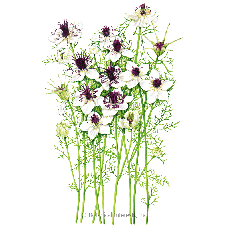 Chocolate and Cream Love-In-A-Mist Seeds