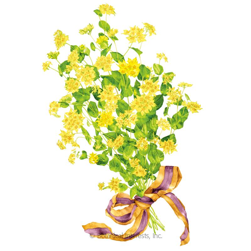 Griffithii Bupleurum Seeds