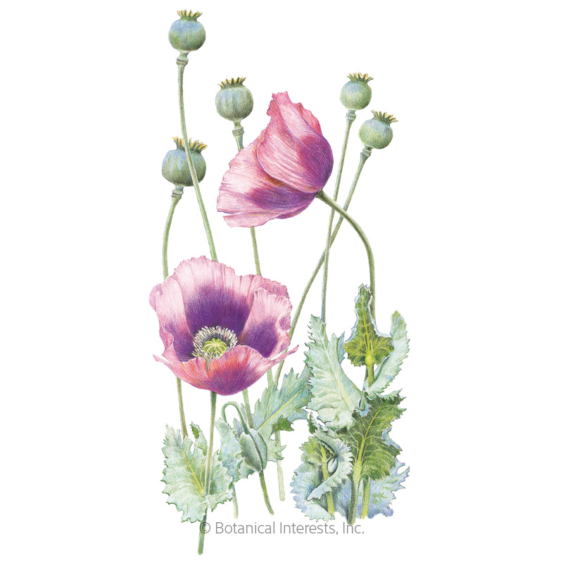 Hungarian Blue Bread Seed Poppy Seeds Organic Botanical Interests