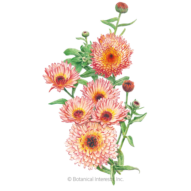 Zeolights Calendula (Pot Marigold) Seeds