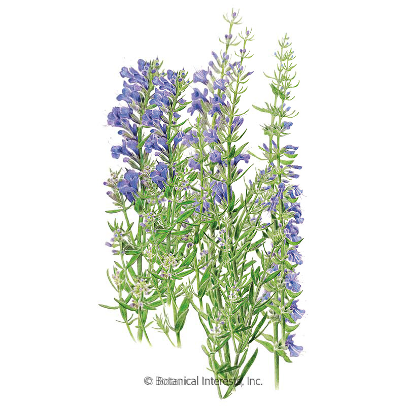The 30-Second Trick For Hyssop Plant For Sale