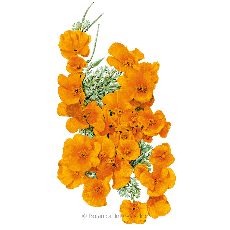 Orange California Poppy Seeds View All Flowers Botanical Interests
