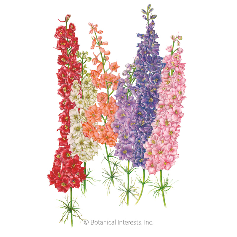 Galilee Blend Larkspur Seeds