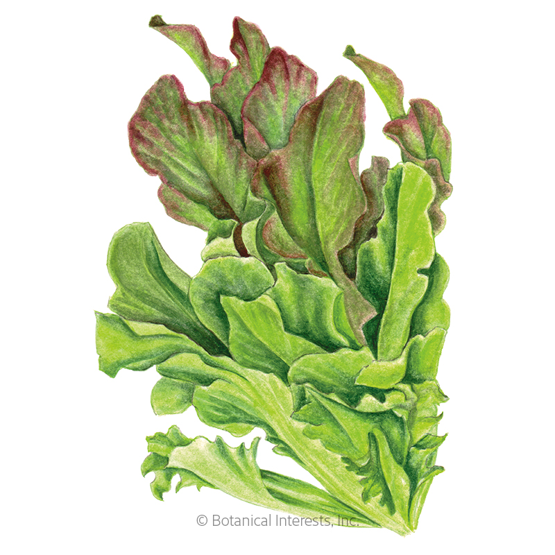 Salad Bowl Blend Leaf Lettuce Seeds
