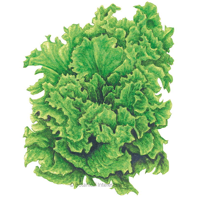 Black Seeded Simpson Leaf Lettuce Seeds
