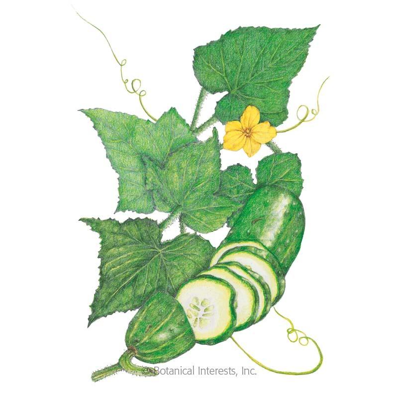 Straight Eight Cucumber Seeds