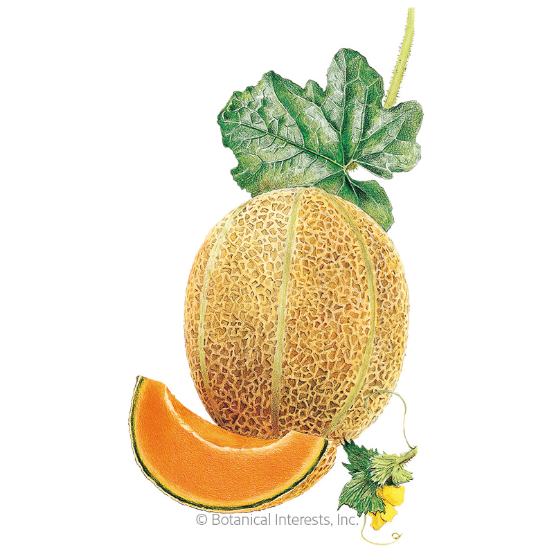 Hale S Best Jumbo Cantaloupe Muskmelon Melon Seeds Vegetables Botanical Interests The musky scent can be overwhelming if the fruit is overripe. hale s best jumbo cantaloupe muskmelon melon seeds