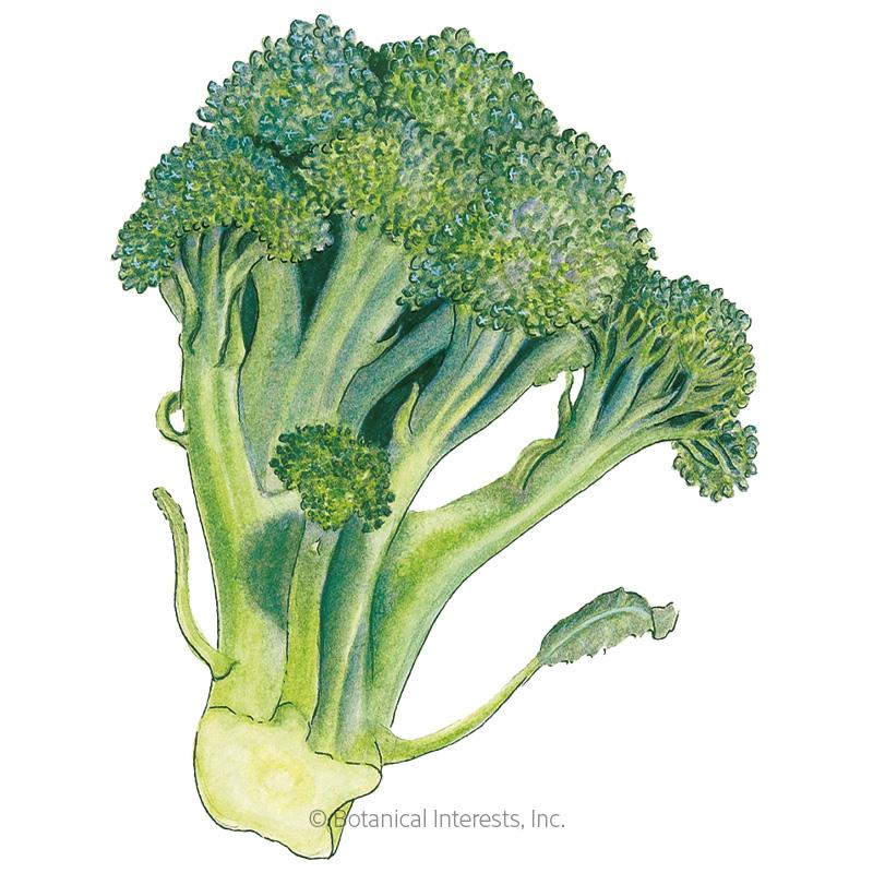 Di Cicco Broccoli Seeds