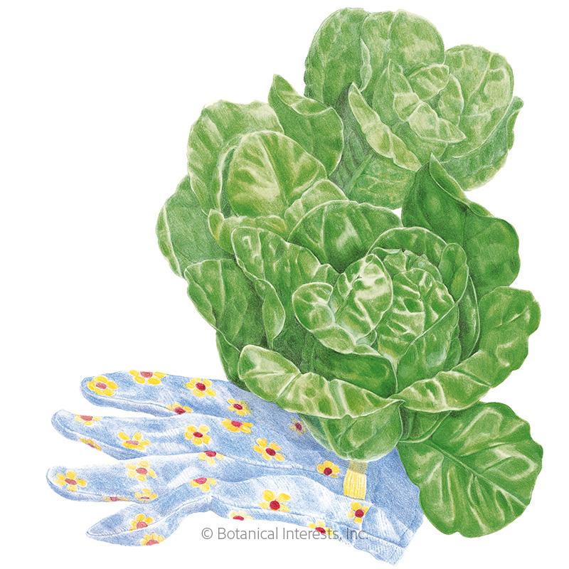 Little Gem Romaine Lettuce Seeds