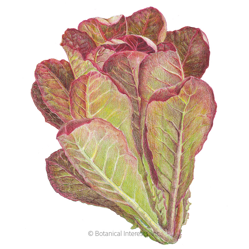 Rouge d'Hiver Romaine Lettuce Seeds