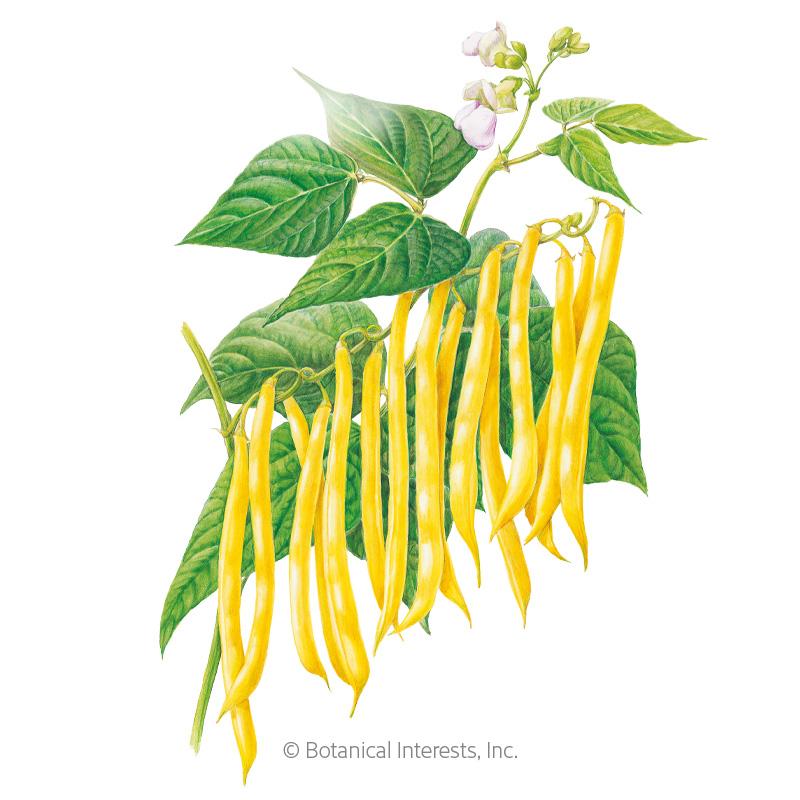 Gold Rush Bush Bean Seeds