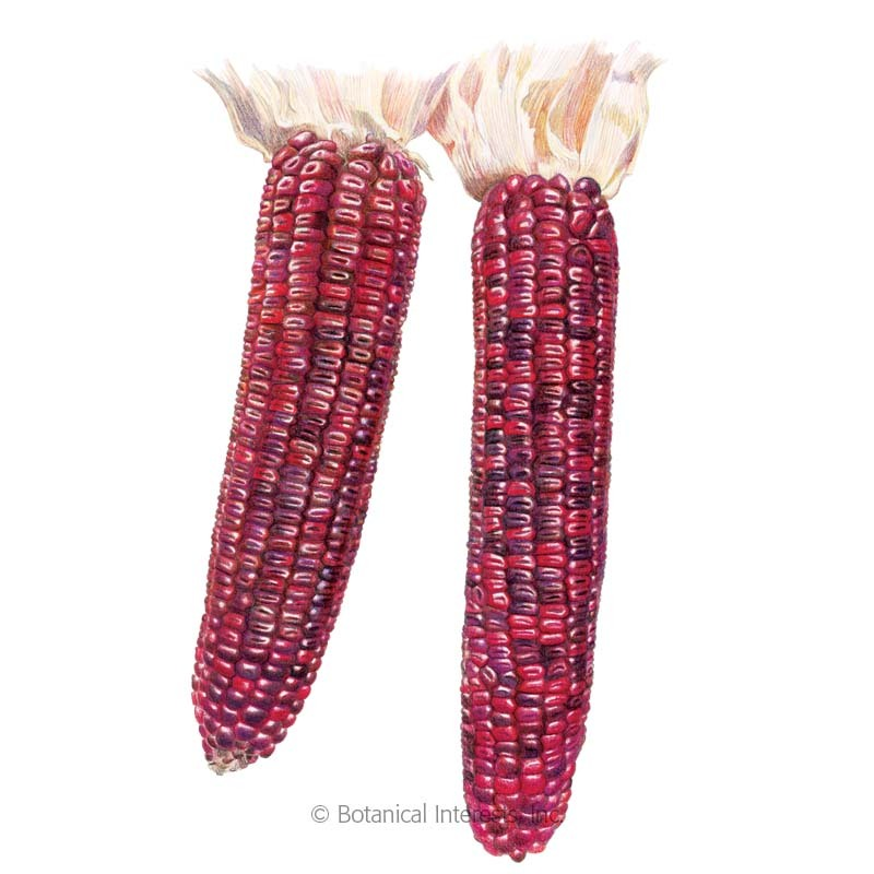 Bloody Butcher Dent Corn Seeds