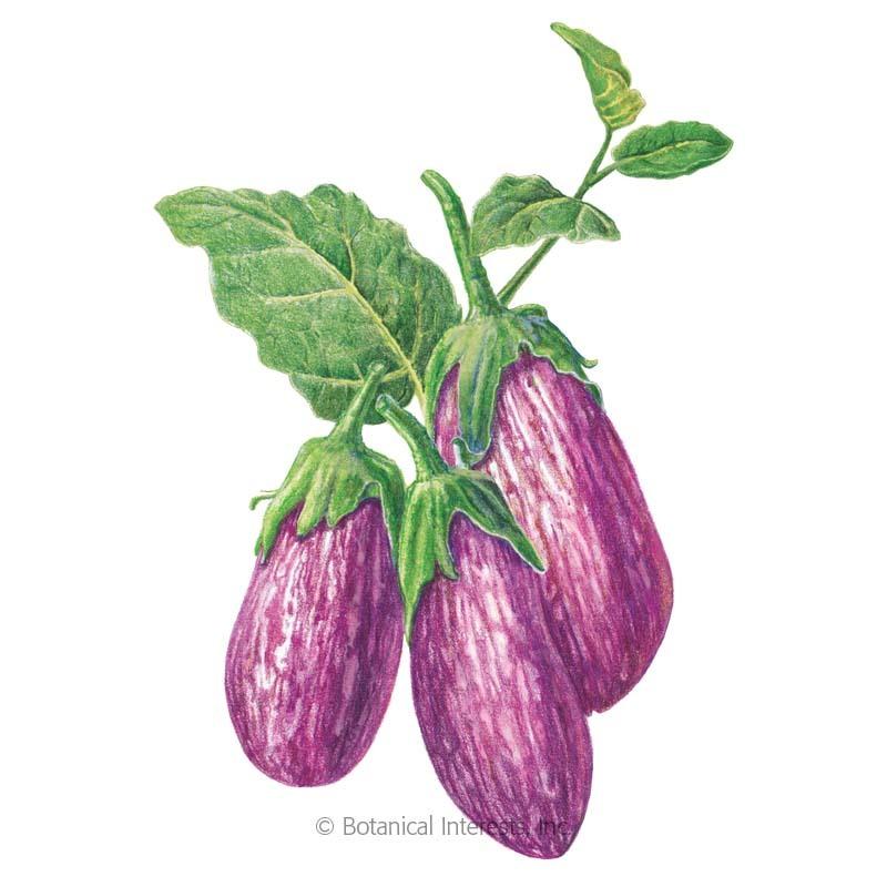 Eggplant Listada de Gandia Organic Vegetable Seeds Botanical Interests
