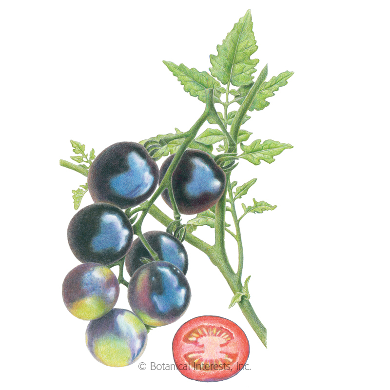 Indigo Rose Pole Cherry Tomato Seeds