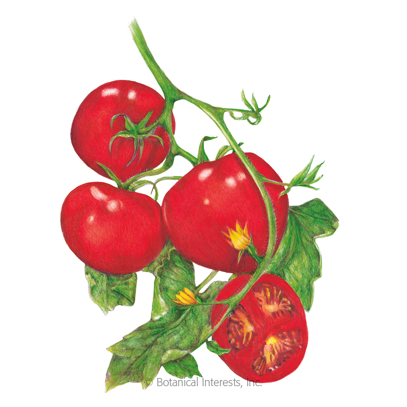 Moneymaker Pole Tomato Seeds