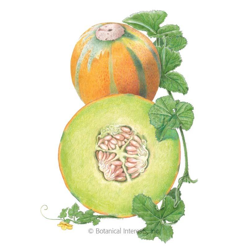 Ha Ogen Galia Melon Seeds