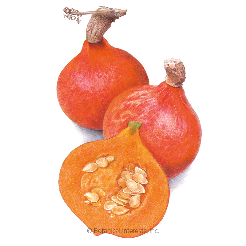 Red Kuri Winter Squash Seeds