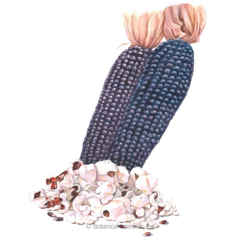 Dakota Black Popcorn Corn Seeds
