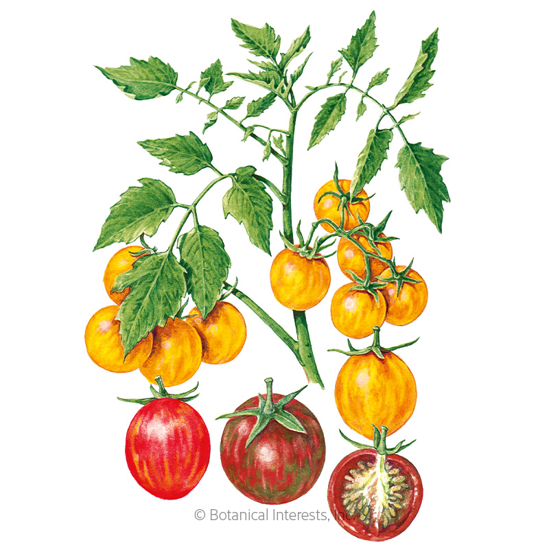 Artisan Bumble Bee Blend Pole Cherry Tomato Seeds