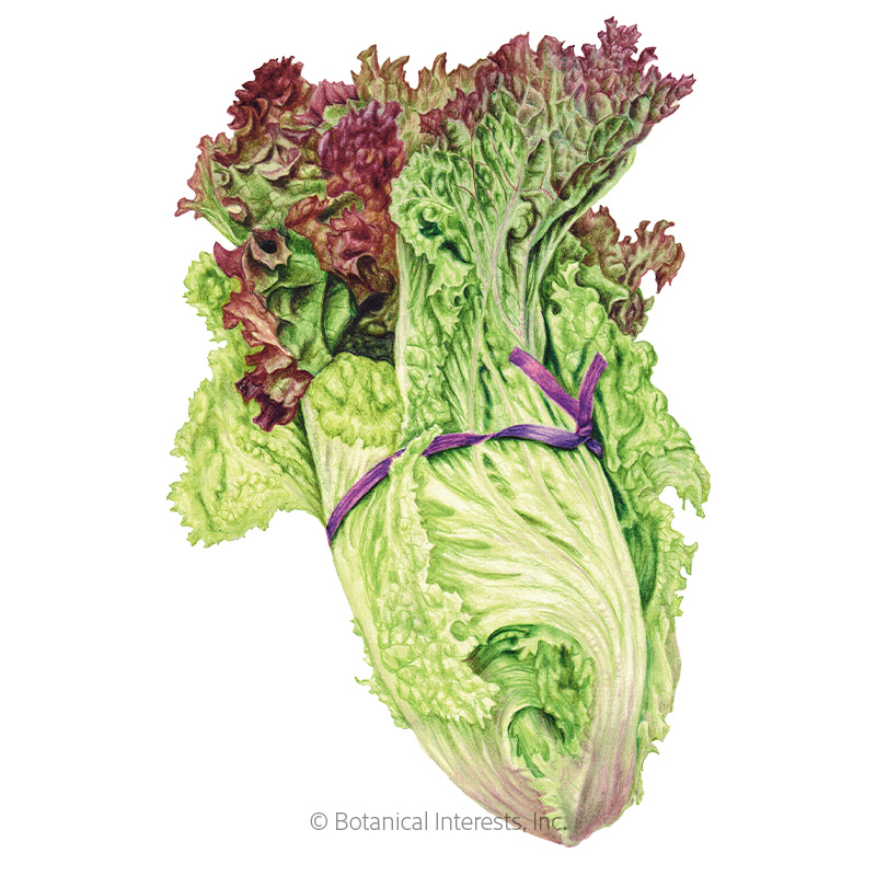 New Red Fire Leaf Lettuce Seeds