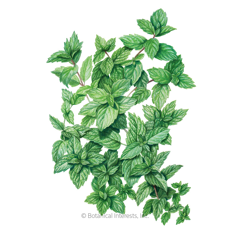 common mint seeds view all herbs botanical interests. Black Bedroom Furniture Sets. Home Design Ideas