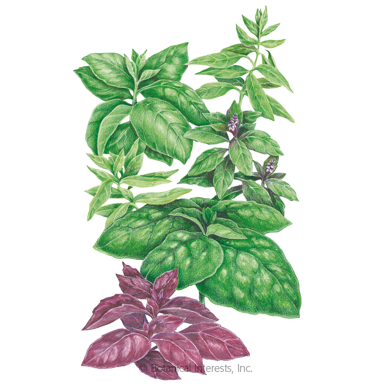 Viva La Dolce Vita Blend Basil Seeds View All Herbs Botanical