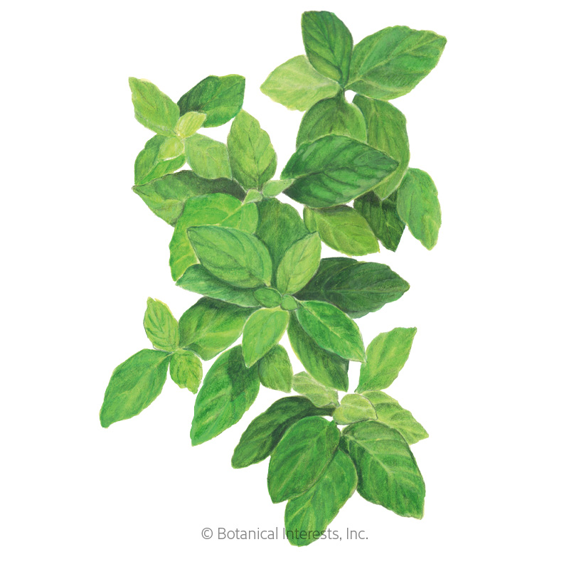 Lemon Basil Seeds Organic