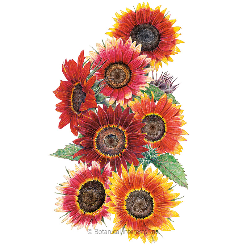 drop dead red sunflower seeds  large packet flowers