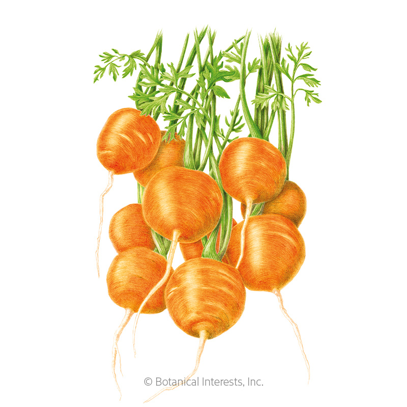 Tonda di Parigi Carrot Seeds
