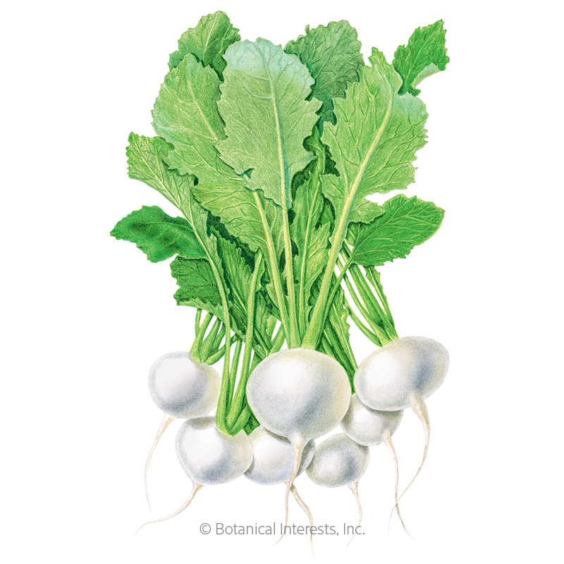 Market Express Turnip Seeds