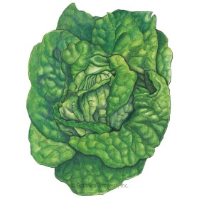 Tom Thumb Butterhead Lettuce Seeds