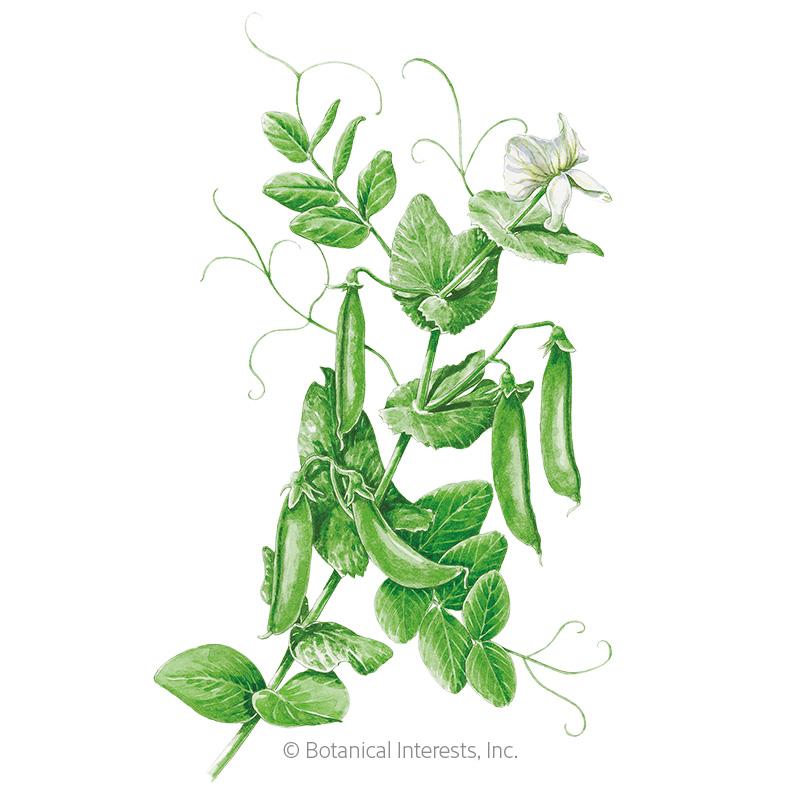 Cascadia Snap Pea Seeds