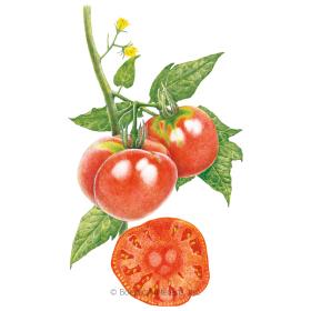 Brandywine Pole Tomato Seeds