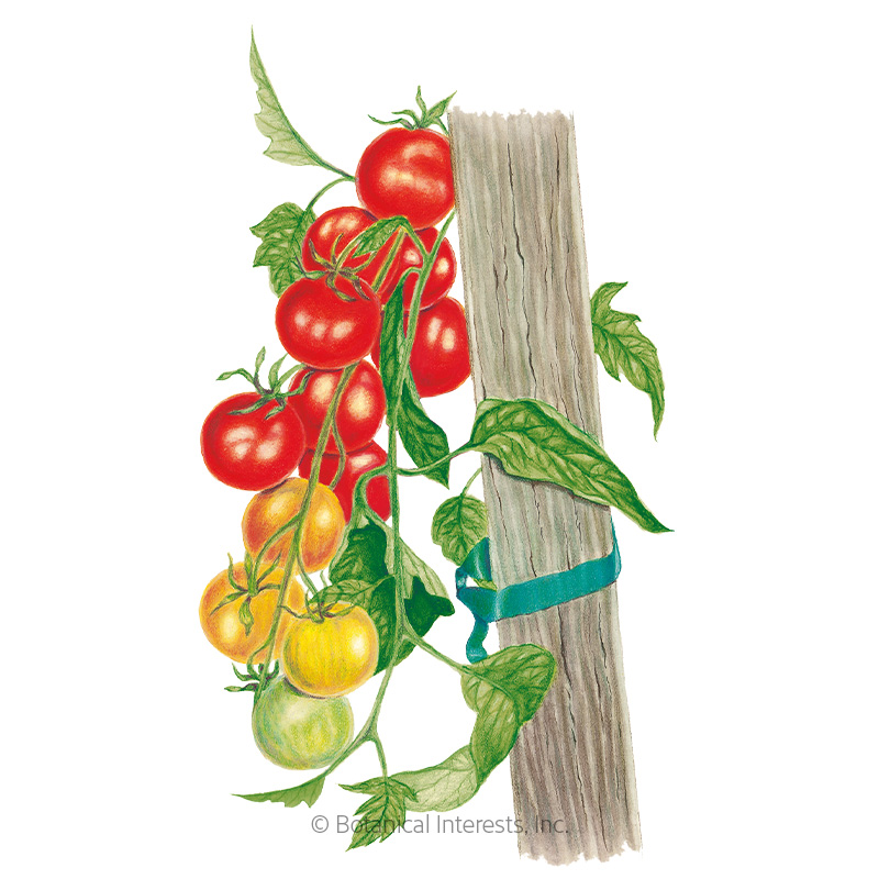 Gardener's Delight Pole Cherry Tomato Seeds