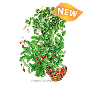 Red and Yellow Wonder Blend Strawberry Seeds