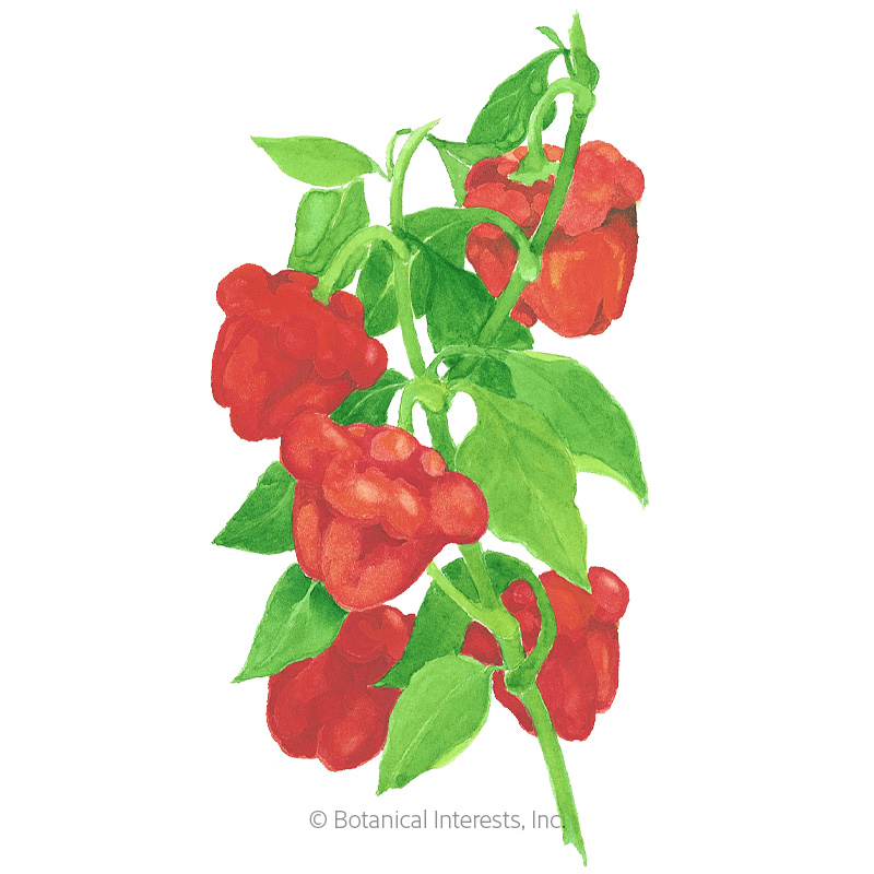 Scotch Bonnet Chile Pepper Seeds - Online Exclusive