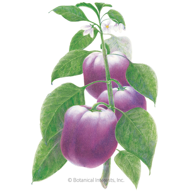 Purple Beauty Sweet Pepper Seeds