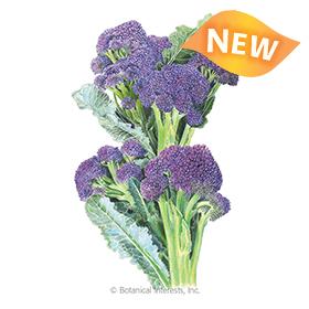 Burgundy Broccoli Seeds