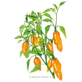 Habanada Sweet Pepper Seeds